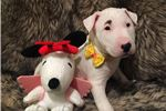Picture of Bull terrier pup