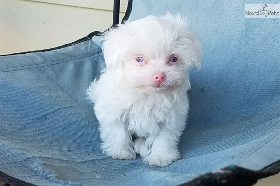 Pinky: Maltese puppy for sale near Los Angeles, California