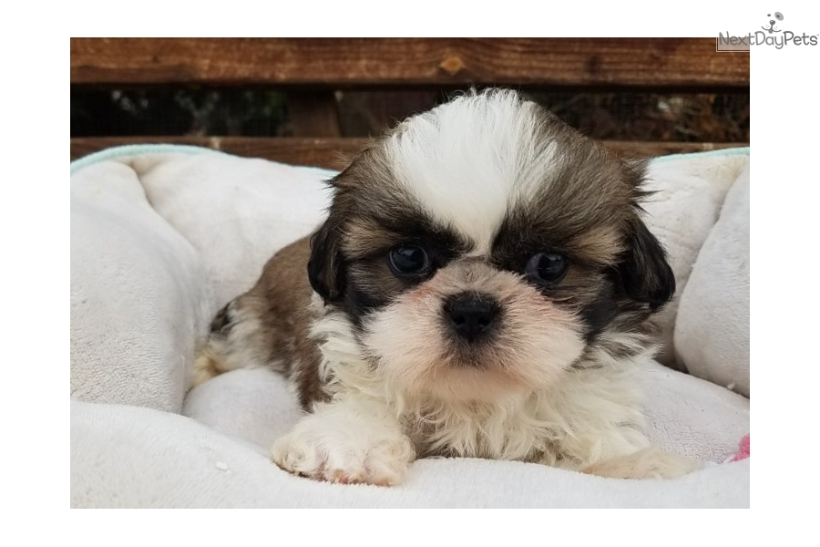 Benny Shih Tzu Puppy For Sale Near Los Angeles California