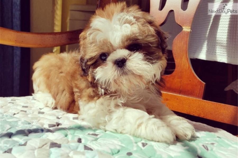 Dolly Shih Tzu Puppy For Sale Near Los Angeles California