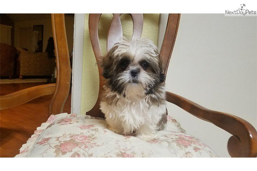 Bunny Shih Tzu Puppy For Sale Near Los Angeles California
