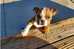 Picture of AKC English Bulldog Girl