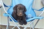 Picture of Chocolate Labrador Puppies