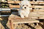 Picture of Adorable Maltese Boy