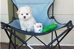 Picture of Tiny Teacup Maltese Boy