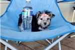 Picture of Tiny Teacup Morkie Girl