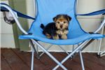 Picture of Gorgeous Morkie Girl
