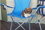 Picture of Gorgeous Shih Tzu Girl