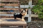 Picture of Adorable Yorkie Boy