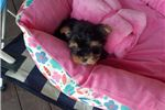 Picture of Tiny Teacup Yorkie Girl