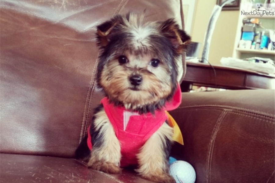 Heart Yorkshire Terrier Yorkie Puppy For Sale Near Los Angeles