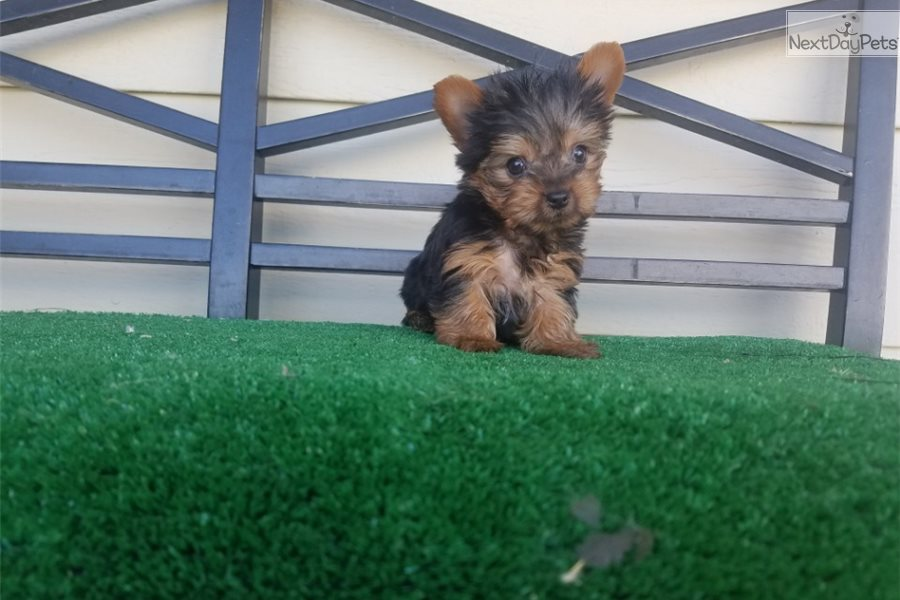 Lucy Yorkshire Terrier Yorkie Puppy For Sale Near Los Angeles