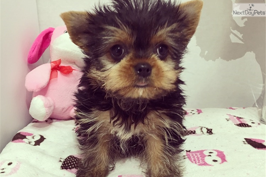 Mila Yorkshire Terrier Yorkie Puppy For Sale Near Los Angeles