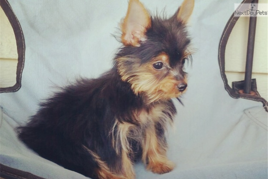 Foxy Yorkshire Terrier Yorkie Puppy For Sale Near Los Angeles