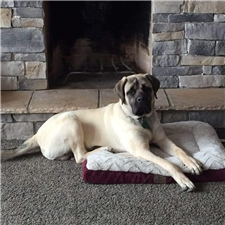 View full profile for Yoder Mastiffs