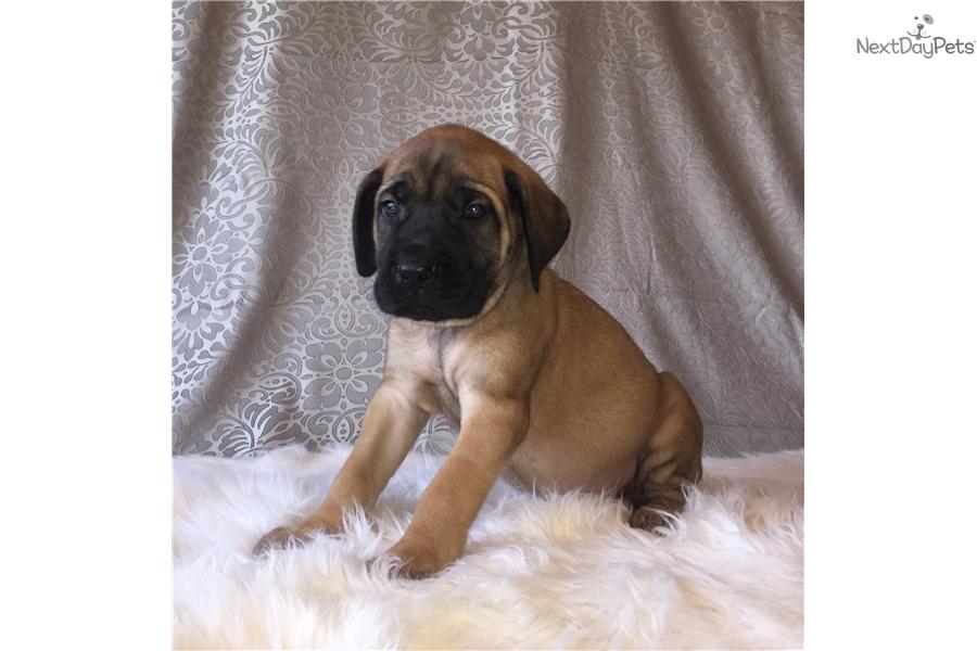 Mastiff Puppy For Sale Near Columbus Ohio 13dbb04d C6a1