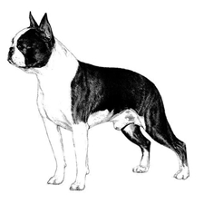View full profile for Bates Boston Terriers