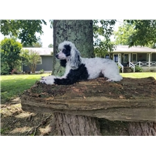 View full profile for Pear Tree Poodles