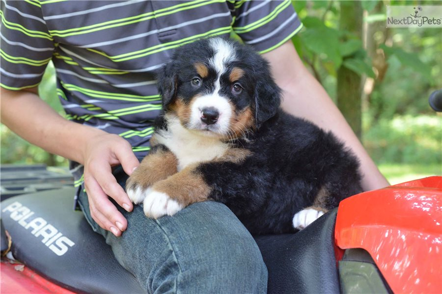 Bernese Mountain Dog Puppy For Sale Near Cleveland Ohio