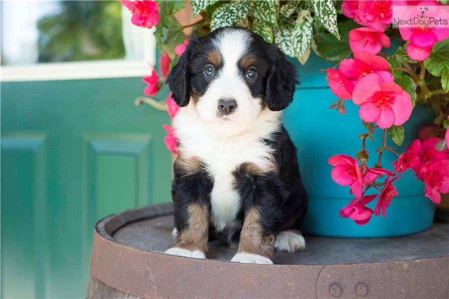 Bernese Mountain Dog Puppy For Sale Near Cleveland Ohio 5baec232 F661