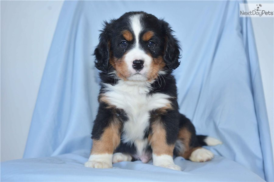 Bernese Mountain Dog Puppy For Sale Near Cleveland Ohio Cf76f9c9 1ba1