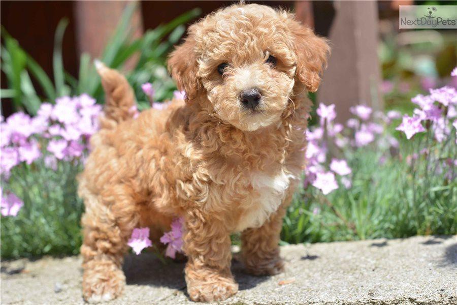 Bich Poo Bichpoo Puppy For Sale Near Cleveland Ohio 91a4b9fd E801