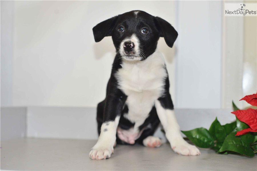 Border Collie Puppy For Sale Near Cleveland Ohio 9da9bae5 Fe21