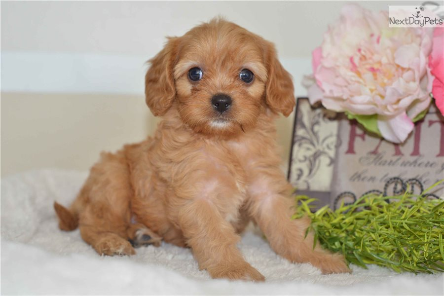 Cavapoo puppy for sale near Cleveland, Ohio | f07e5f21-5201