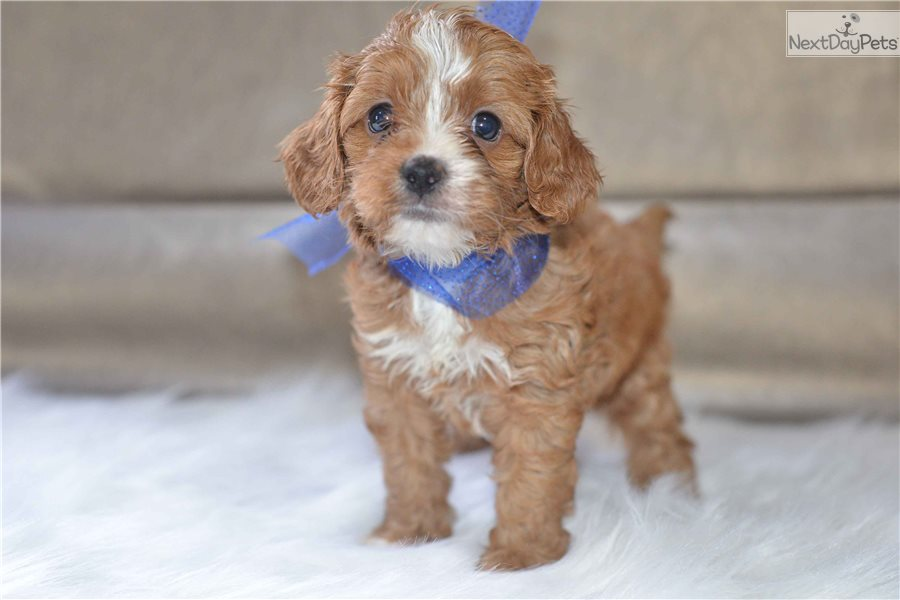 Cavapoo puppy for sale near Cleveland, Ohio | 8d7b1709-aba1