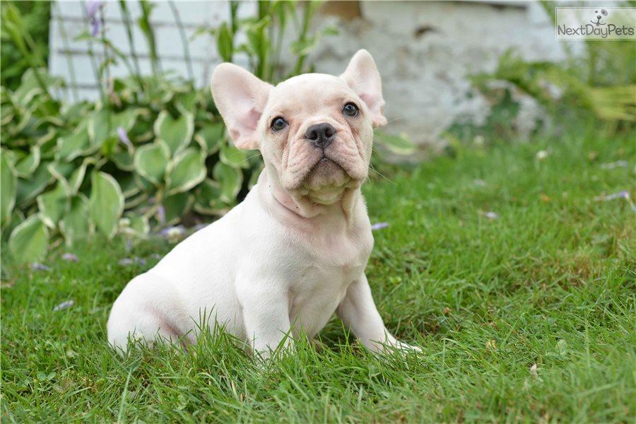 French Bulldog puppy for sale near Cleveland, Ohio | 172d010b-6c81