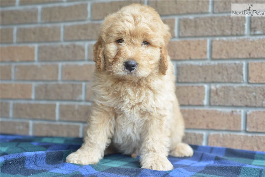 Goldendoodle Puppy For Sale Near Cleveland Ohio 5daa5990 C751