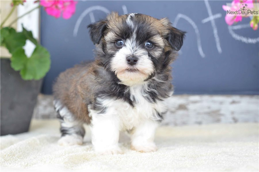 Havanese Puppy For Sale Near Cleveland Ohio 32b9d279 0df1