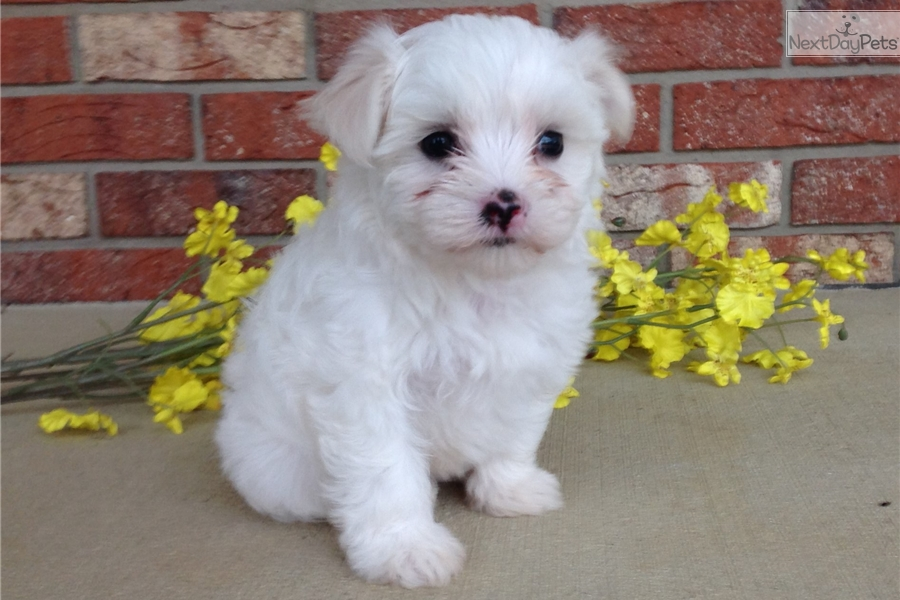 maltese puppy for sale in ohio walker maltese puppy for sale near akron canton ohio 8188