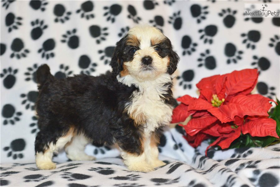 Mixed/Other puppy for sale near Cleveland, Ohio | f8a9ecc1-44b1