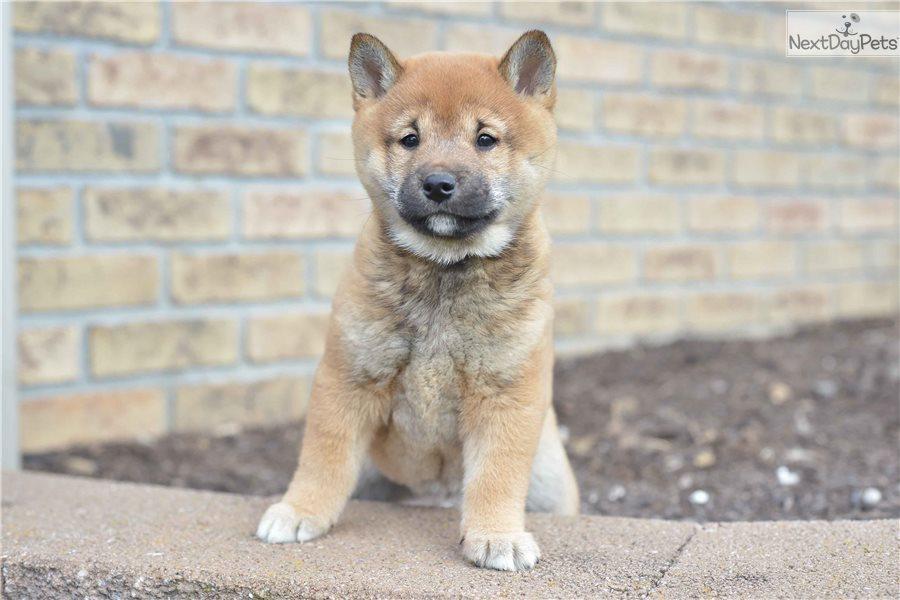 Shiba Inu Puppy For Sale Near Cleveland Ohio Dabf9531 B891