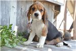 Ollie - Beaglier | Puppy at 21 weeks of age for sale