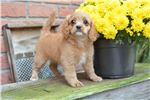 Picture of Lindsay - Cavapoo