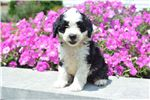 Picture of Sally - Mini Bernedoodle