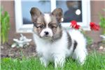 Lonnie - Papillion | Puppy at 8 weeks of age for sale