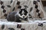 Picture of a Pomsky Puppy