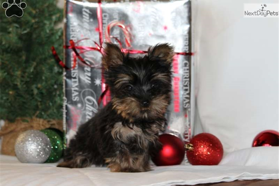 Tommy Yorkshire Terrier Yorkie Puppy For Sale Near Cleveland