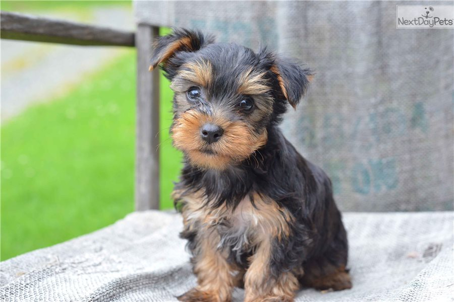 Yorkshire Terrier Yorkie Puppy For Sale Near Cleveland Ohio