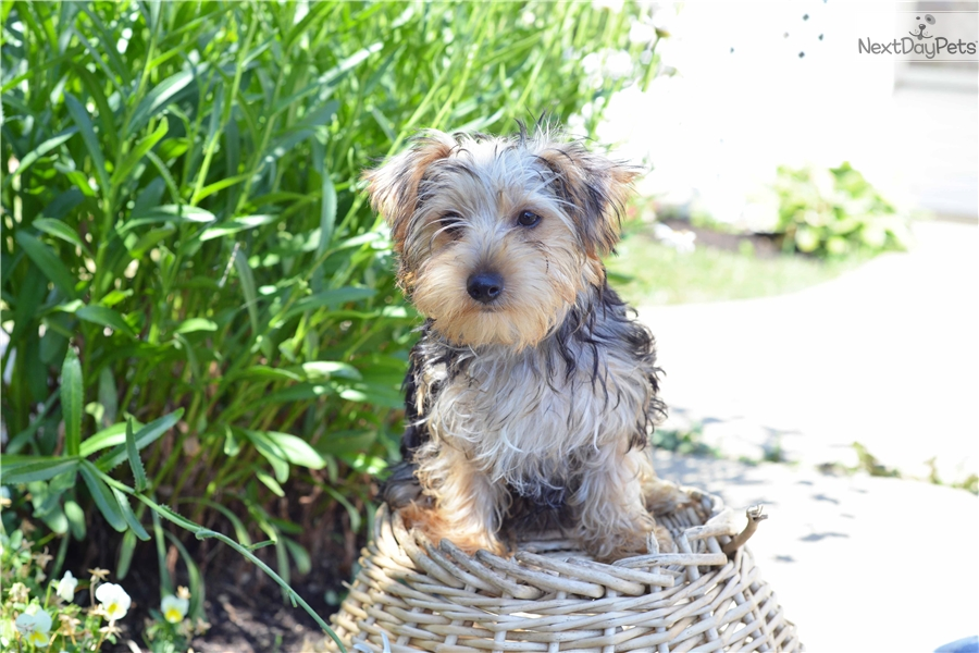 Benj Yorkshire Terrier Yorkie Puppy For Sale Near Cleveland Ohio