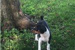 Picture of Decker rat terrier