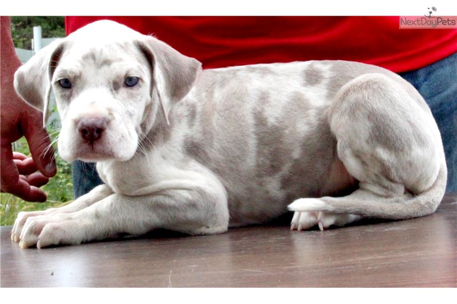 Lilac Merle Male Great Dane Puppy For Sale Near Louisville