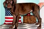Picture of  AKC Chocolat Solid Male Great Dane Puppy Red Chev