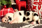 Picture of Female Show Marked Harlequin Great Dane Puppy Yell