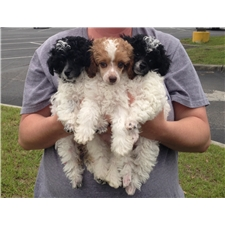 View full profile for J&P Poodles