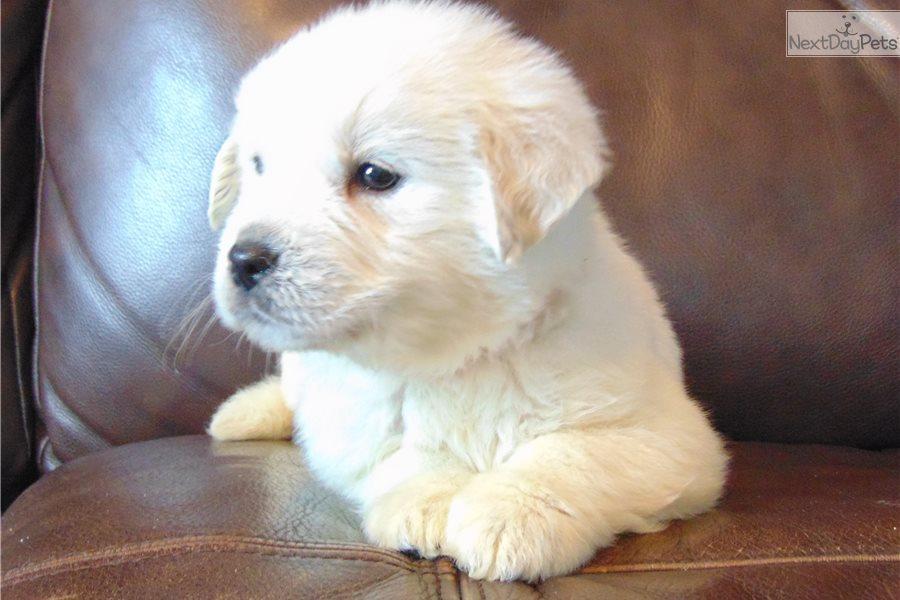 Golden Retriever Puppies For Sale Kansas City