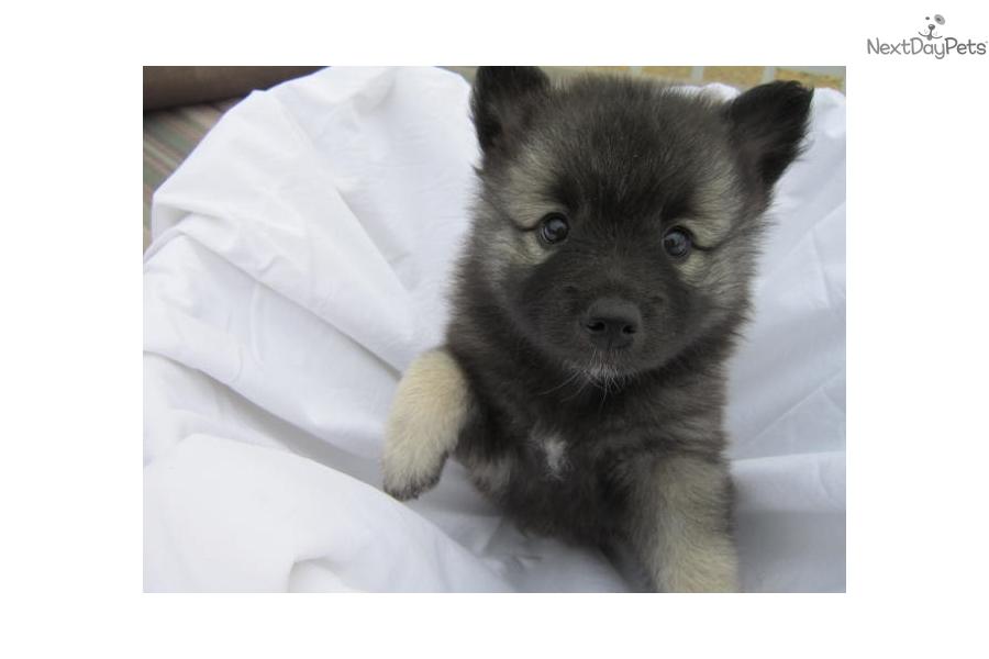 Keeshond Puppy For Sale Near Modesto California Be77f699 7241